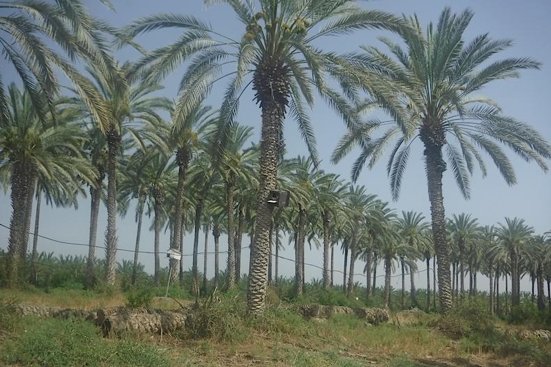 пальмовые плантации Sde Eliahu