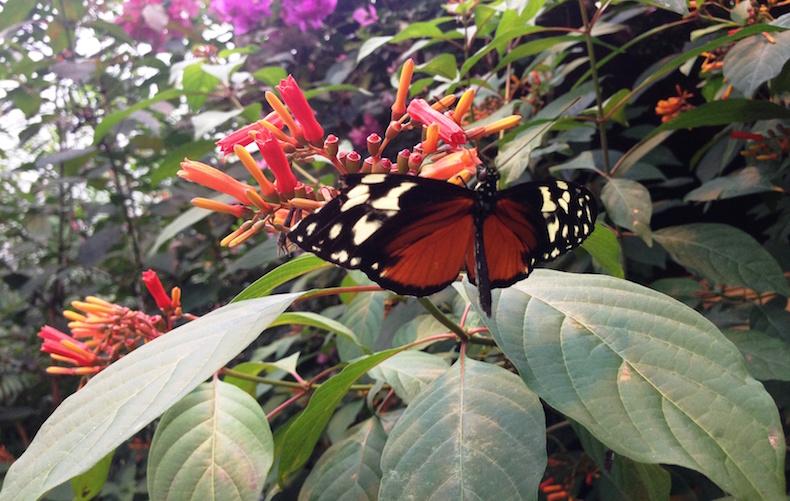 бабочки, Ла Пас, Коста-Рика