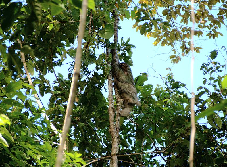 Ленивец Коста-Рика