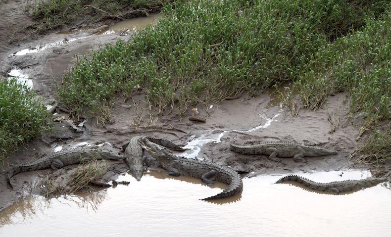 Крокодилы Коста-Рики