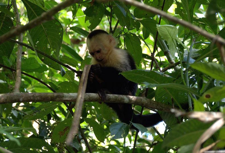 беломордые обезьяны – капуцины