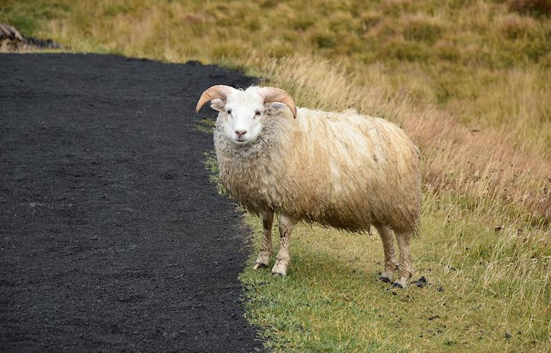 исландские овцы, Исландия Озеро Миватн