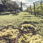 Хозяйство Masciarelli: в гости к итальянским виноделам