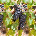 Вина Далмации и история одного потерянного сорта винограда