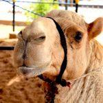 Верблюжьи бега в ОАЭ: 7 любопытных фактов