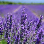 Где в Провансе самые красивые лавандовые поля, когда туда нужно ехать и что необходимо знать, если вы мечтаете о фотосессии