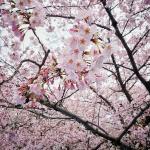 Когда начинается цветение сакуры в Токио и куда стоит отправляться на ханами