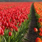 Тюльпаны в Голландии: где самые красивые поля цветов и плантации тюльпанов