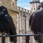 Как связаны вороны Тауэра и «Игра престолов»?
