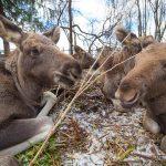 Сумароковская лосиная ферма под Костромой: почему туда стоит поехать
